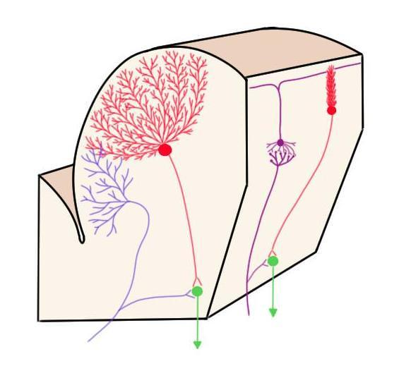 cerebellar cortex.