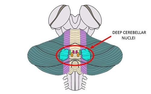 deep cerebellar nuclei - definition — neuroscientifically challenged, Human Body