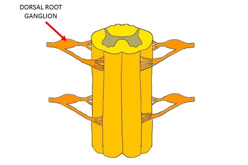 spinal cord with arrow indicating a dorsal root ganglion.