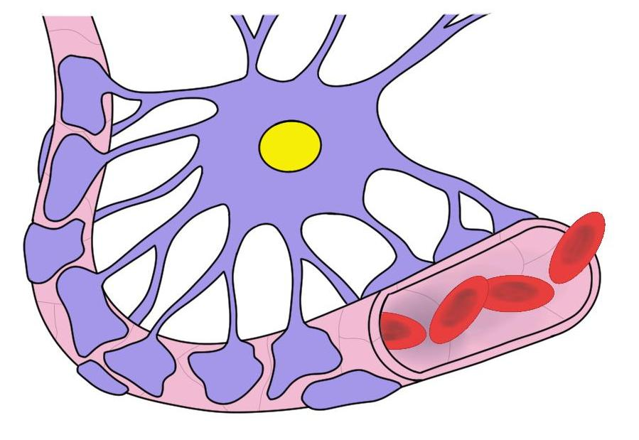 blood-brain barrier.