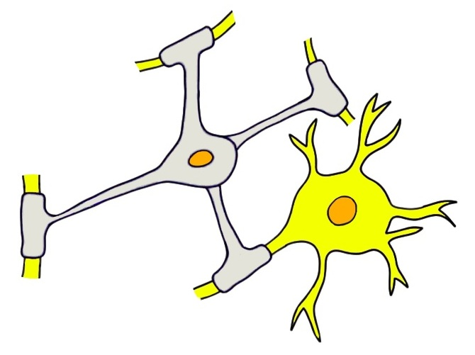 oligodendrocyte (grey cell) myelinating the axons of multiple neurons.