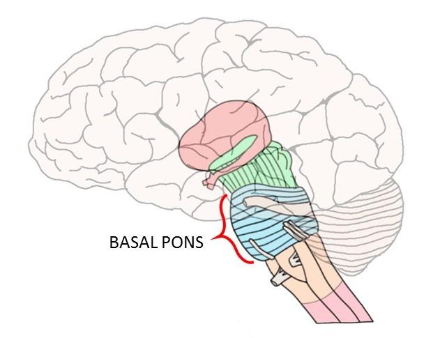 basal pons.