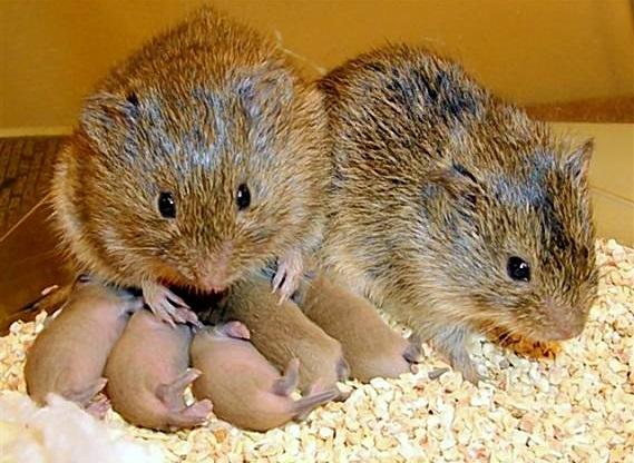 prairie voles. Image courtesy of thenerdpatrol,(prairie voles omsi).