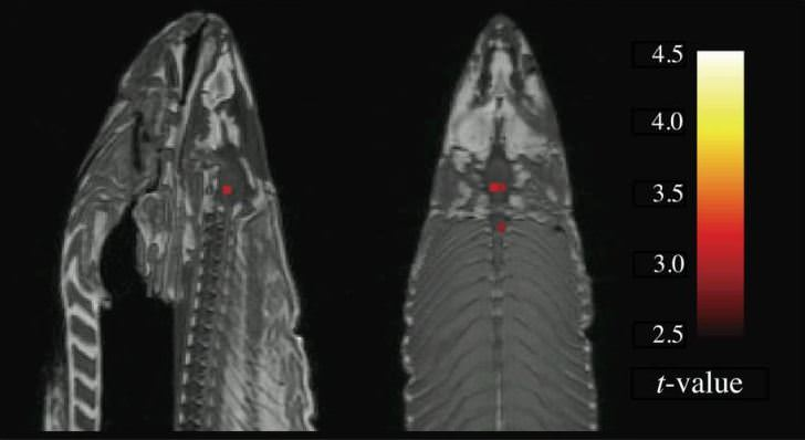 fMRi image of dead atlantic salmon. taken from bennett et al. (2009).