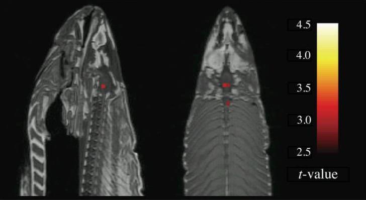 fMRi image of dead atlantic salmon. taken from bennett et al. (2009).