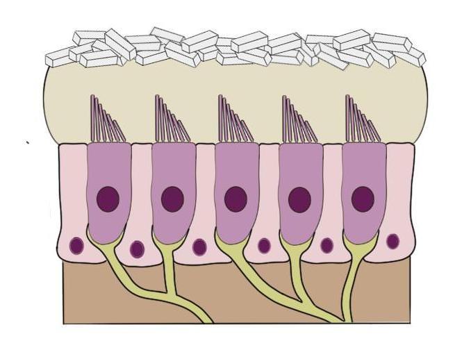an otolith organ.