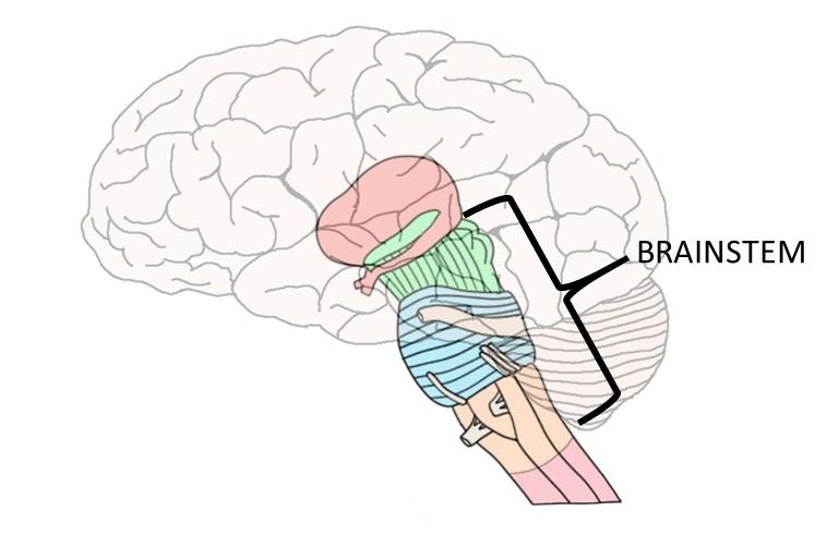 brainstem - definition — neuroscientifically challenged, Human Body
