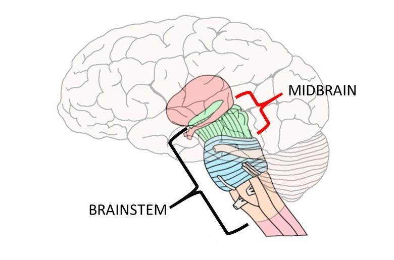 midbrain