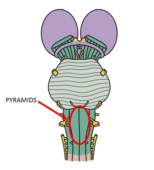 medullary pyramids
