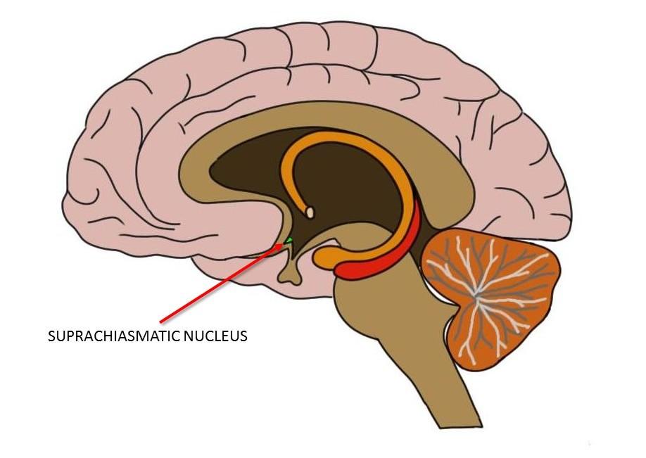 the suprachiasmatic nucleus is represented by the small green area within the hypothalamus (also indicated by the red arrow).