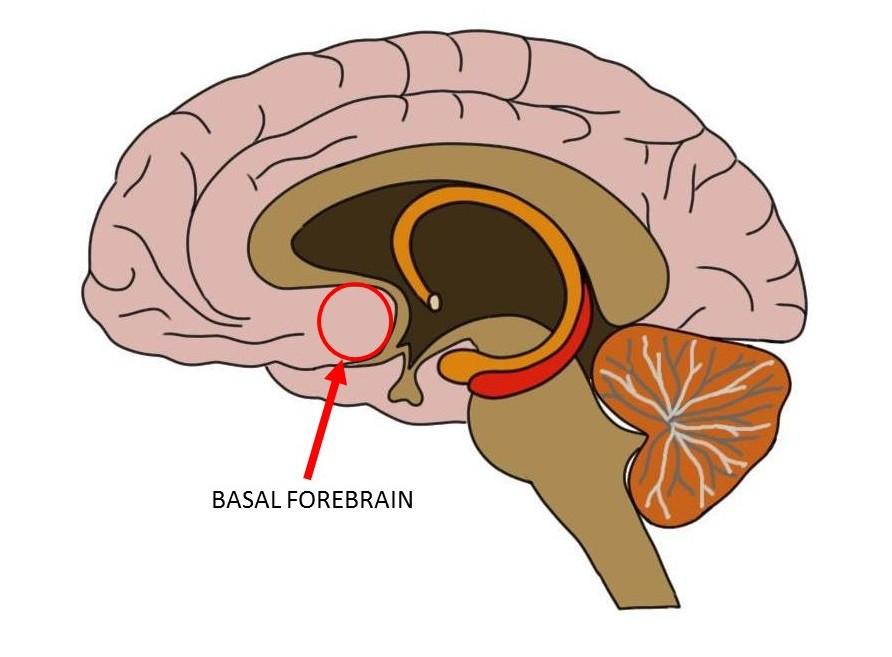 basal forebrain