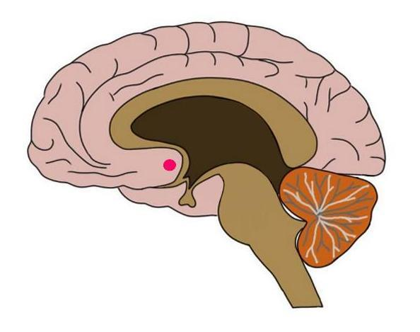 the nucleus accumbens, the major component of the ventral striatum, represented by a red dot.