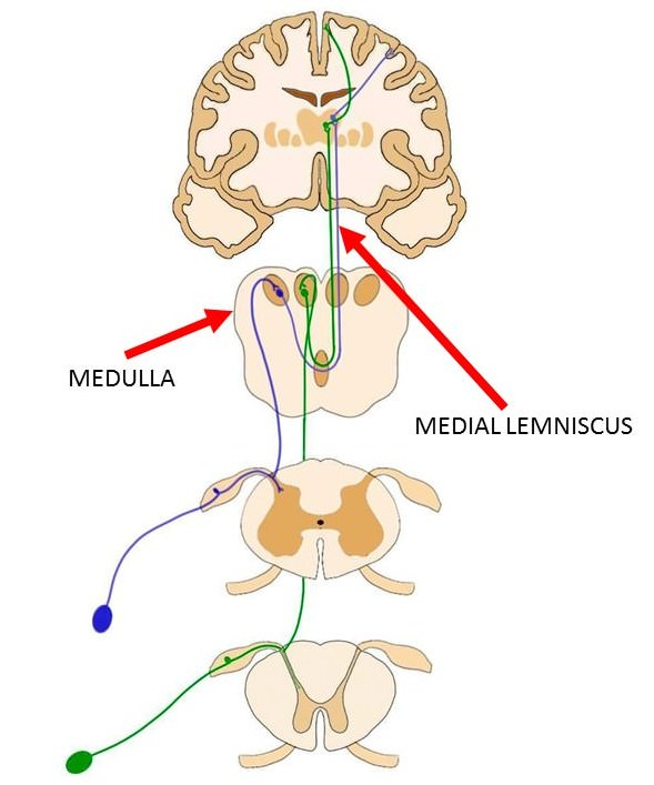 the medial lemniscus is represented by both the blue and green lines.