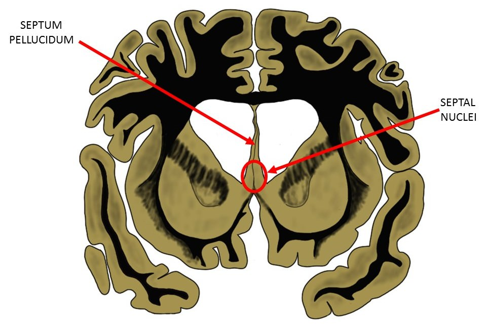 the septum, with separate indicators for the septum pellucidum and septal nuclei.