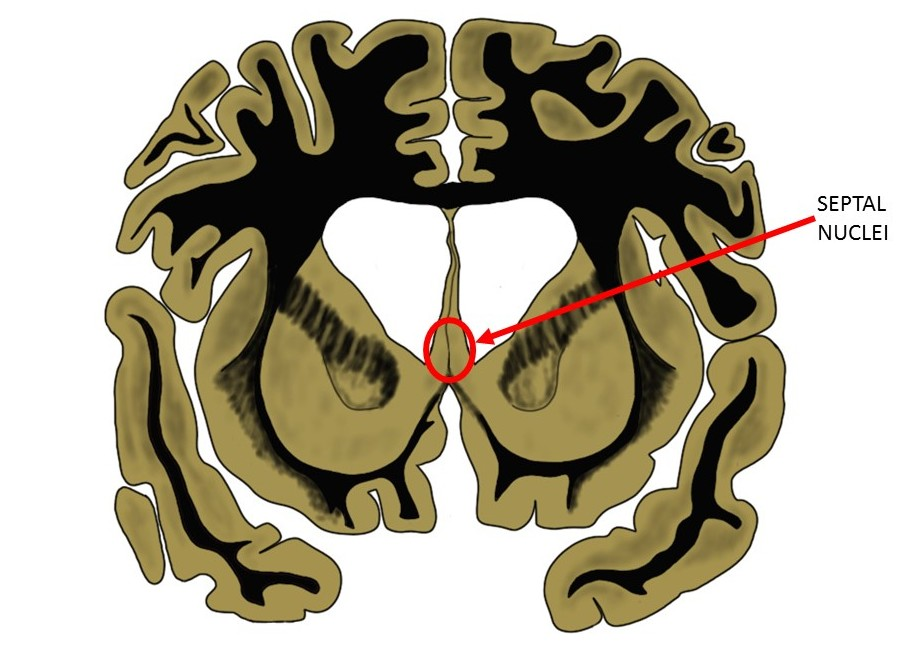 the septal nuclei as seen in a coronal brain slice.