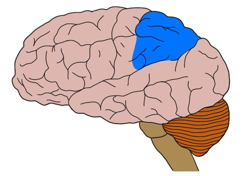 posterior parietal cortex in blue.