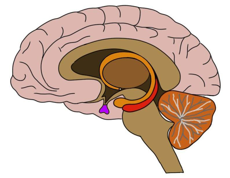 The pituitary gland is colored purple in this image.