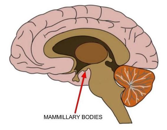 mammillary bodies