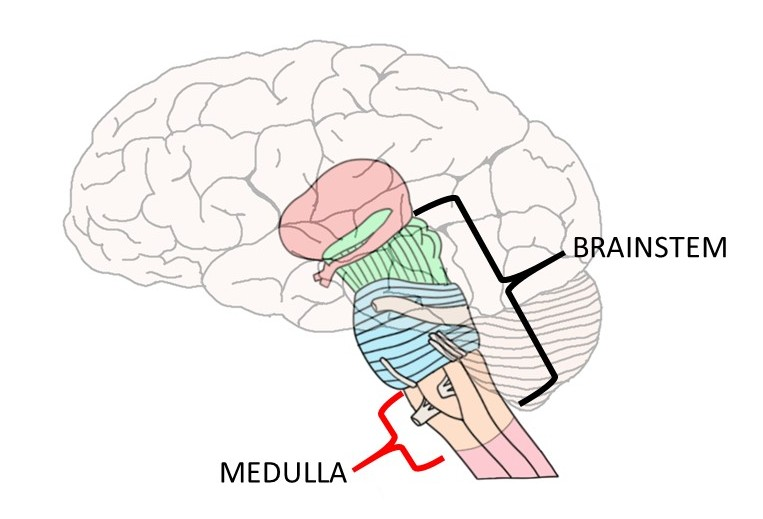 Image showing the medulla oblongata, the region of the brainstem that Legallois found was essential to respiration.
