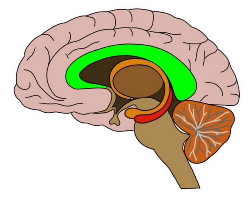 2-Minute Neuroscience: Corpus Callosum — Neuroscientifically Challenged