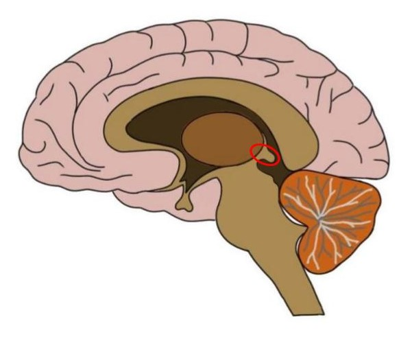 the epithalamus is circled in red.