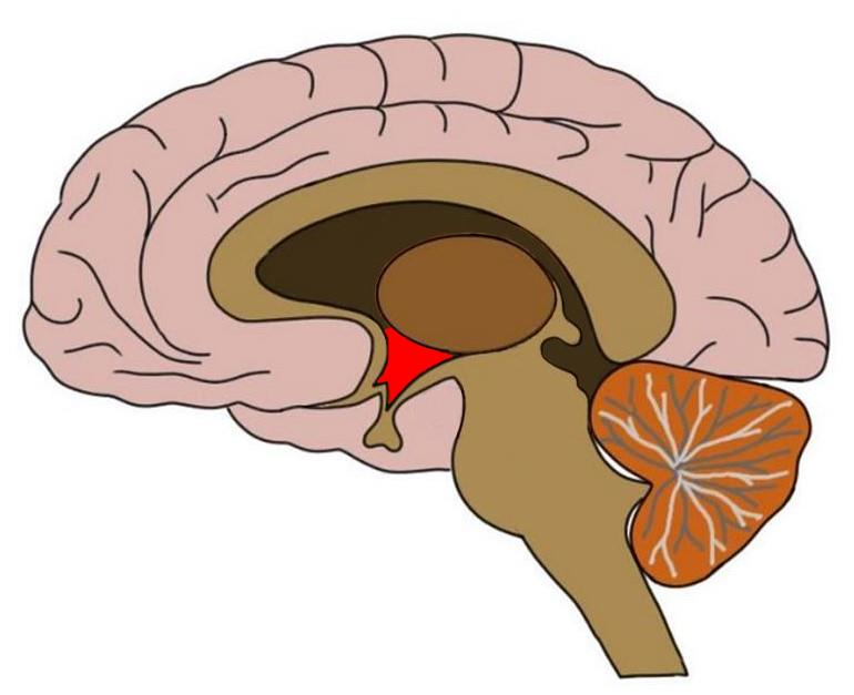 hypothalamus colored in red.