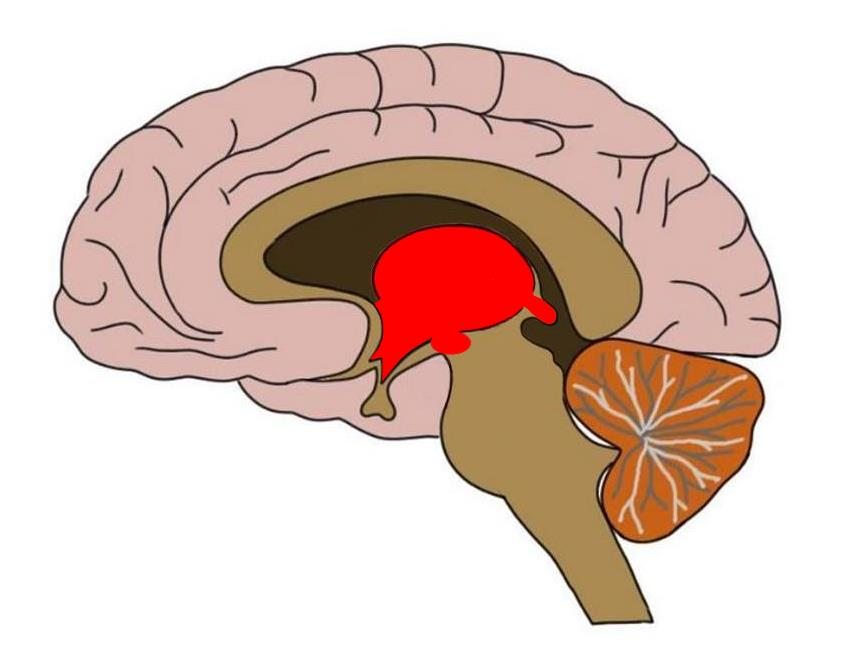 Approximate area of the diencephalon colored in red.