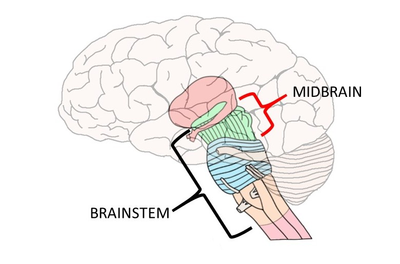 "2-Minute Neuroscience<a href=""/blog/2-minute-neuroscience-midbrain"">→</a><strong>Midbrain</strong>"