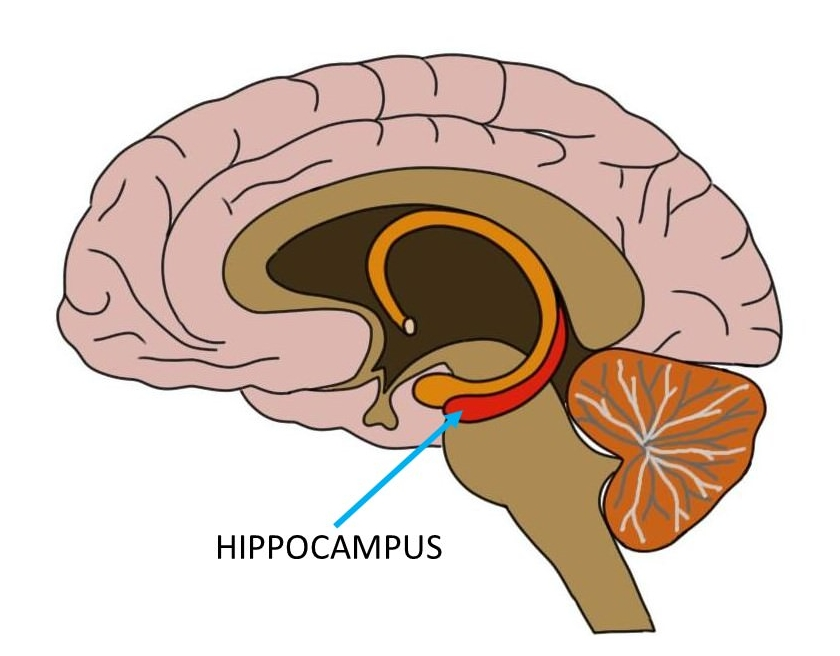 articles relating to the particular hippocampus