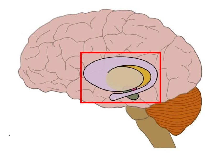 Know your brain: Primary visual cortex — Neuroscientifically Challenged