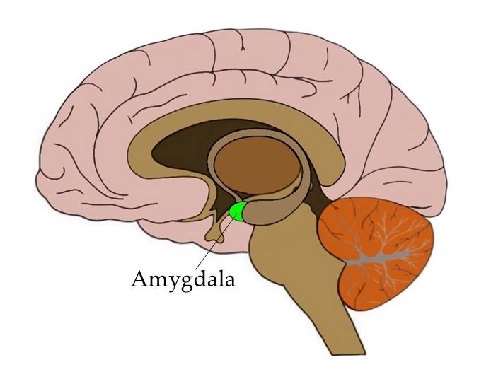 Know Your Brain  Amygdala  U2014 Neuroscientifically Challenged