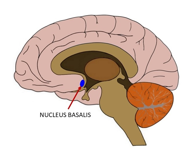 Nucleus basalis
