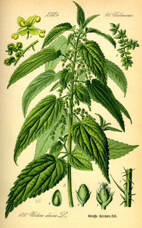 Illustration_Urtica_dioica0.jpg