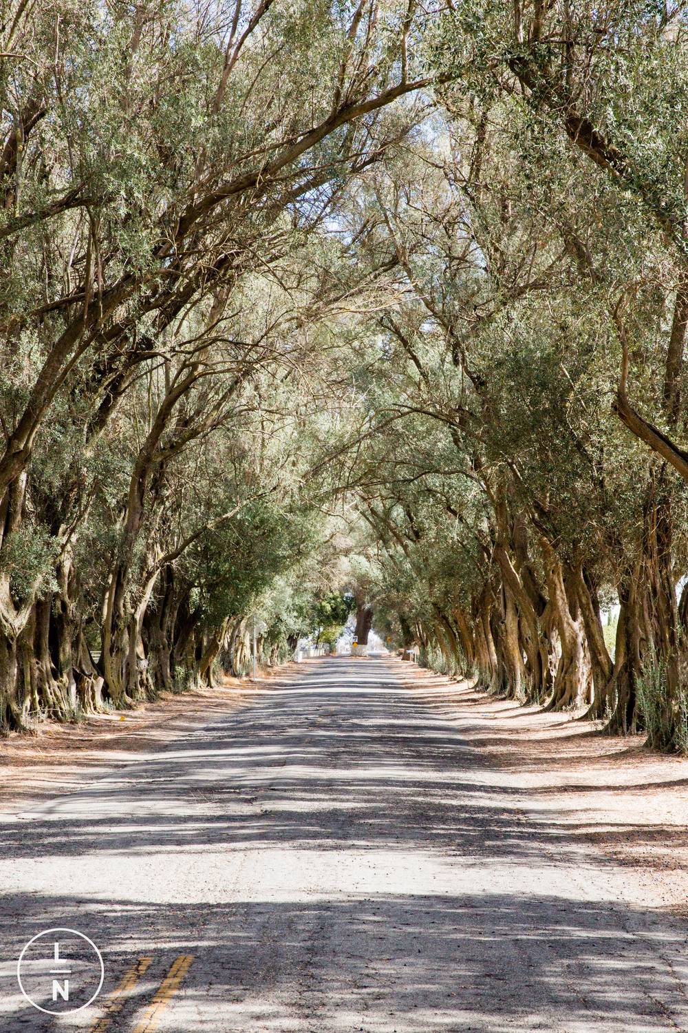 The driveway into Lawley Ranch is lined with olive trees which make for a beautiful back drop.