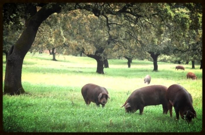 jamon-pigs1.jpg