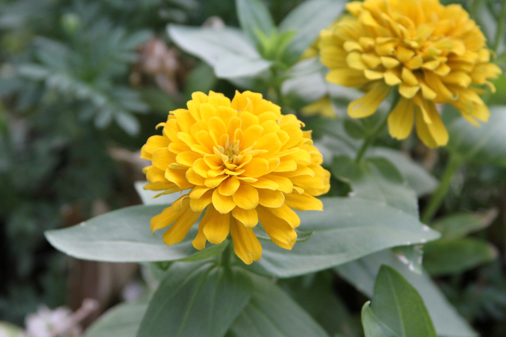 Golden Zinnias © Laurie Pace 2012