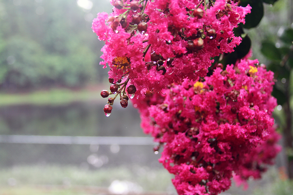 The rain upon the Crepe Myrtles . . .