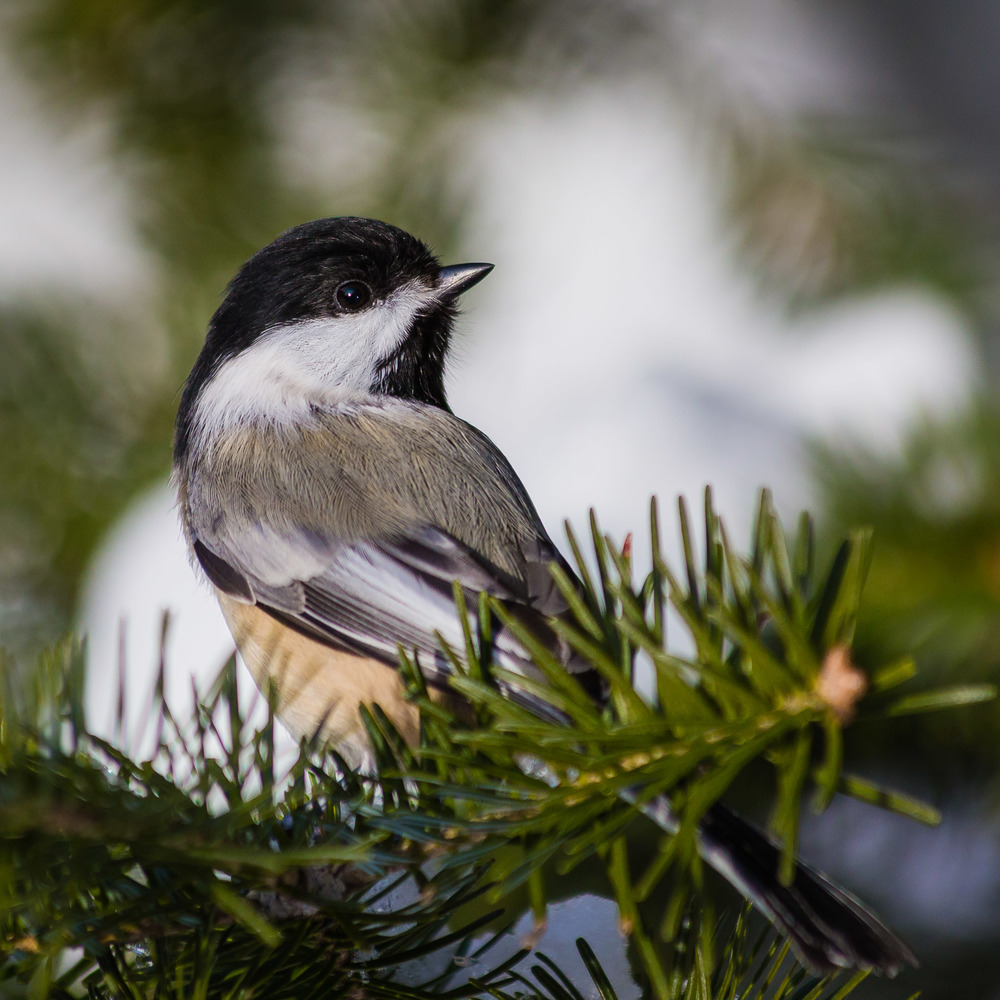 Chickadee and white Pine