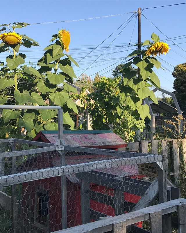 Good morning from the giant sunflowers in my backyard.
