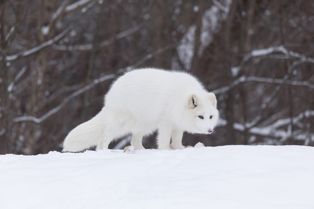 If including a photo of an adorable arctic fox is wrong, we don't want to be right