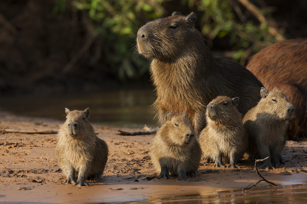Cool as a capybara