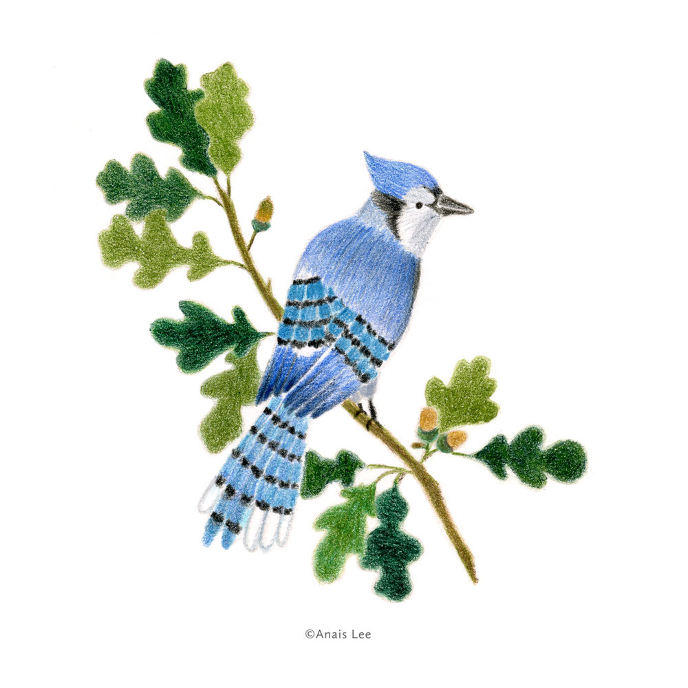 Blue Jay and Oak Tree