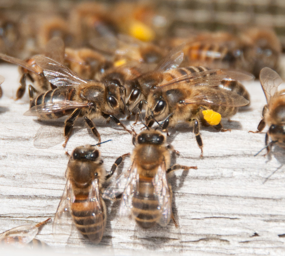 My husband captured this great shot of our bees looking like they are having a chat at the front door of the hive.  Maybe thats exactly what they are doing?