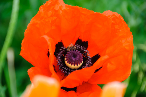 Oriental poppy flowers black pollen for bees rosybee plants they love all poppies but these blooms each stay open for about a week providing huge loads of black or dark purple pollen mightylinksfo Choice Image