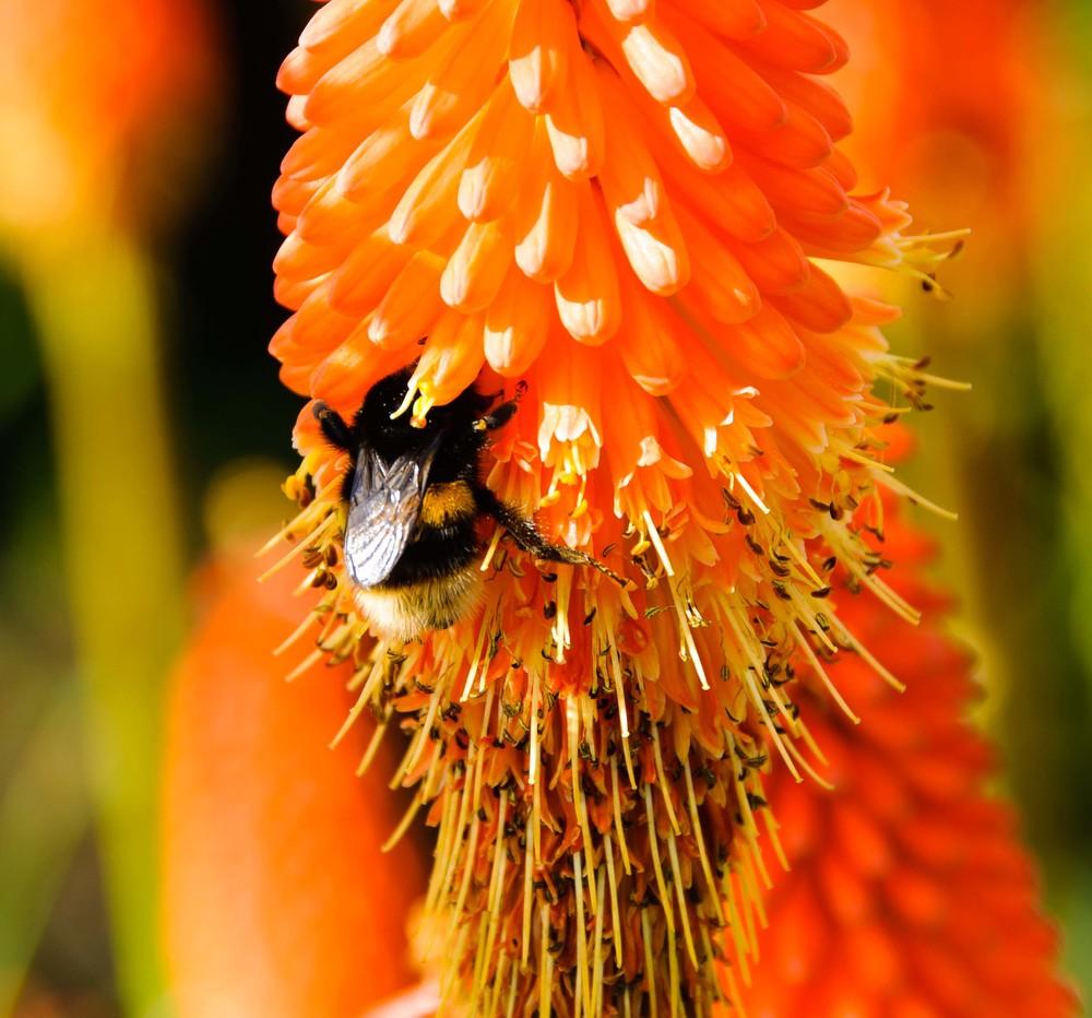 Buff-tailed bumblebee on kniphofia