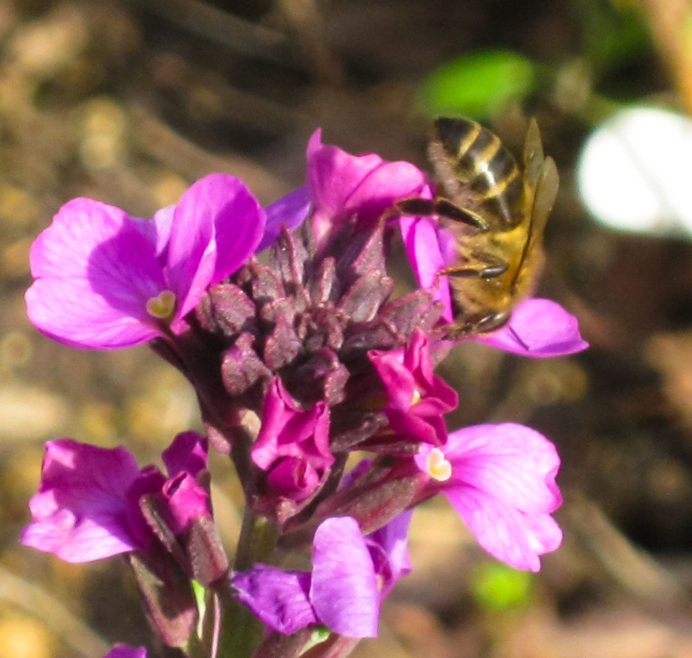 Honeybee on Erysimum Bowles Mauve