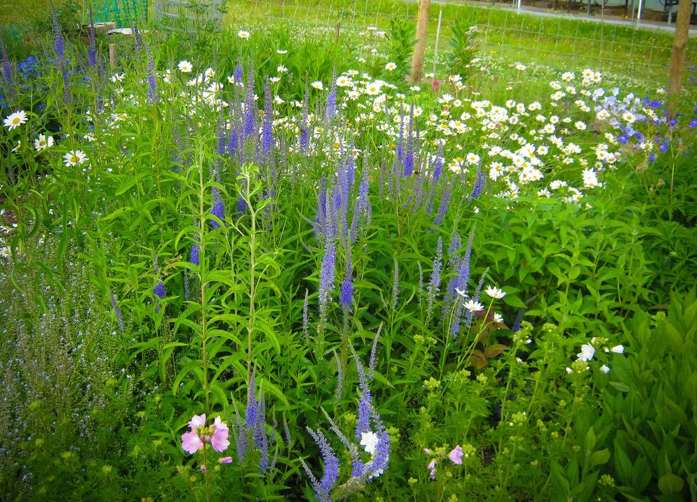 veronica spicata in our border