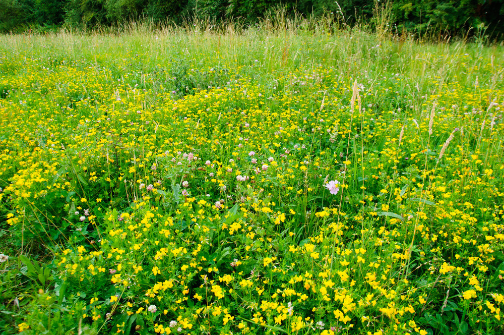 yellow birds-foot trefoil in the clover mix