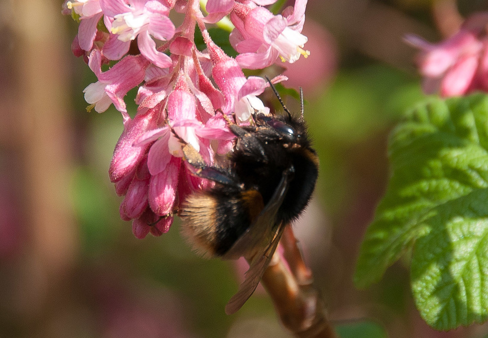 Bombus pratorum queen