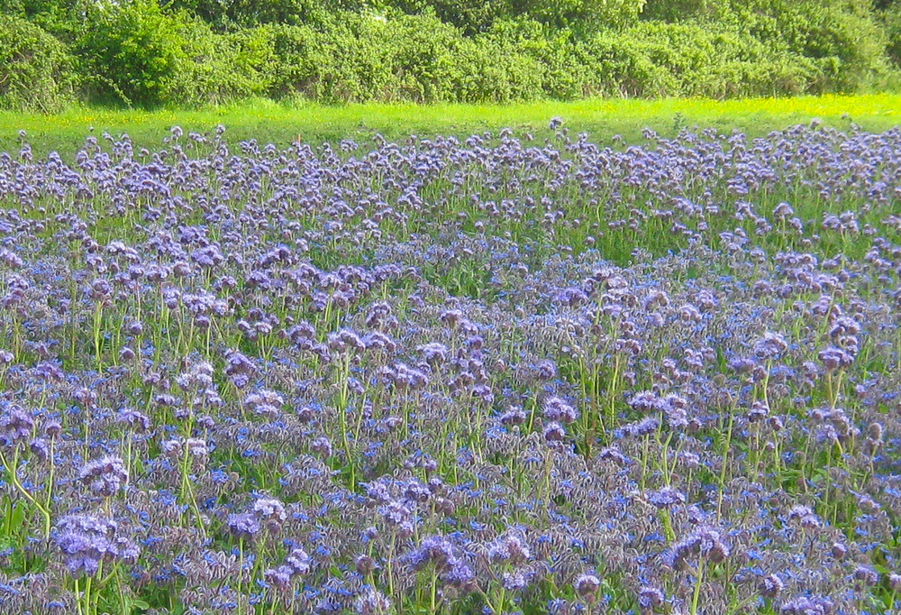 borage and phacelia - half acre with bramble in the background